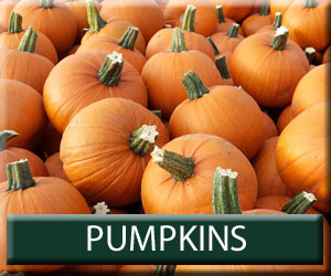 the pumpkin patch produce squash growers bewholme east yorkshire