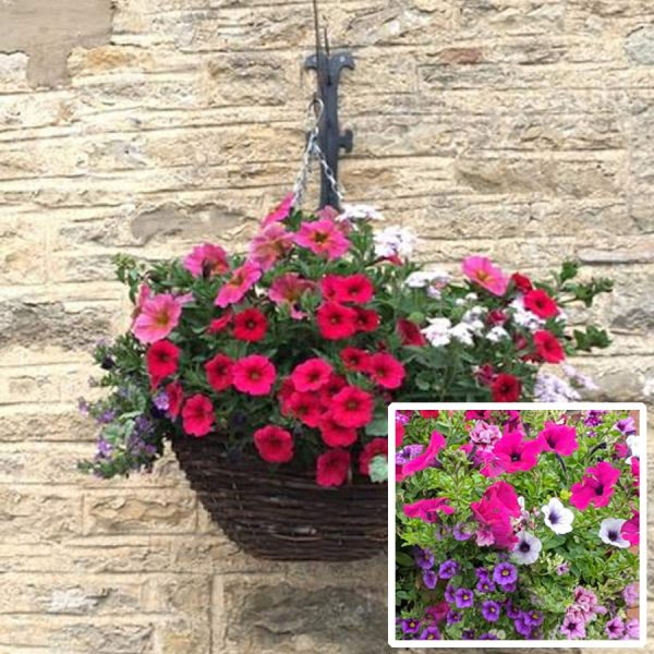 12 inch ready planted hanging basket pretty pink purple blue delivery east yorkshire