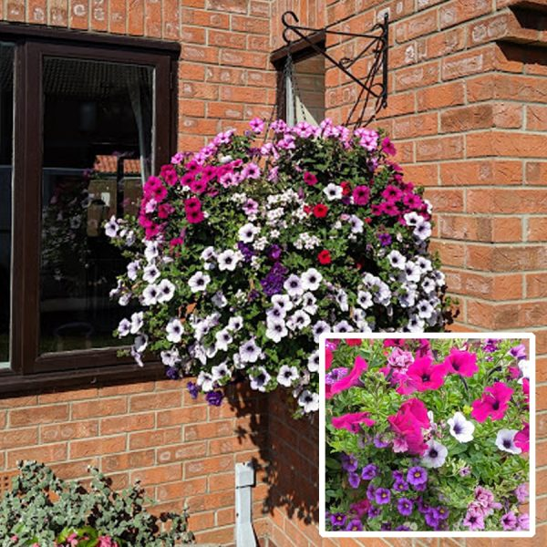16 inch moss-lined wire hanging basket pretty pink purple blue east yorkshire