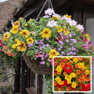 16 inch ready planted wicker rattan hanging basket bright red yellow orange