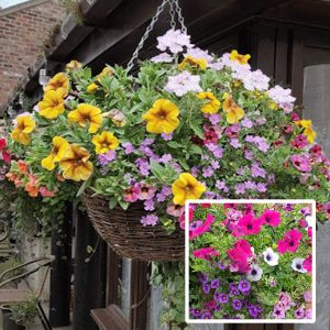 16 inch ready planted wicker rattan hanging basket pretty pink purple blue