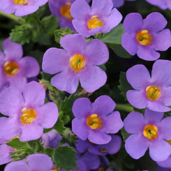 Bacopa blue delight hanging basket plants for sale delivery east yorkshire hull beverley driffield hornsea