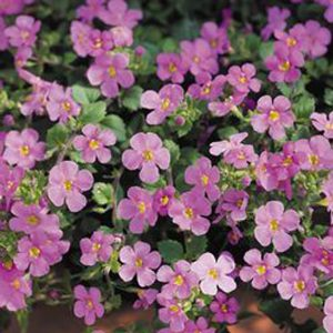 Bacopa dark pink hanging basket plants for sale delivery east yorkshire hull beverley driffield hornsea