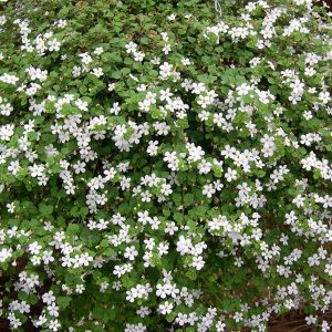 Bacopa snowflake hanging basket plants for sale delivery east yorkshire hull beverley driffield hornsea