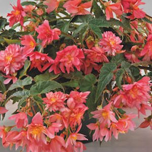 Begonia funky pink hanging basket plants for sale delivery east yorkshire hull beverley driffield hornsea