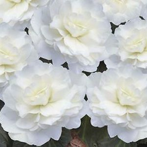 Begonia 'Non-Stop Mocca White Imp' bedding hanging basket plants for sale delivery east yorkshire hull beverley driffield hornsea