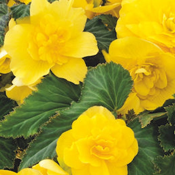 Begonia Mocca Yellow bedding hanging basket plants for sale delivery east yorkshire hull beverley driffield hornsea