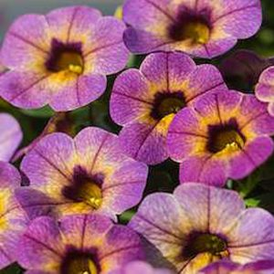 Calibrachoa blueberry scone hanging basket plants for sale delivery east yorkshire hull beverley driffield hornsea