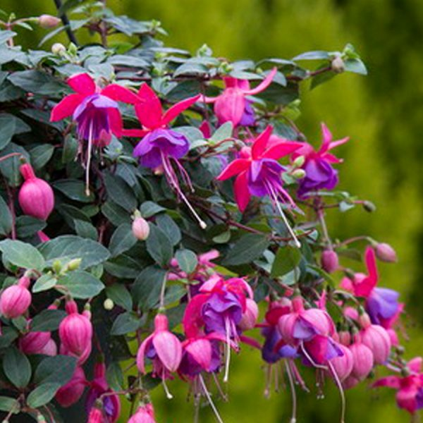Fuchsia Ringwood Market hanging basket plants for sale delivery east yorkshire hull beverley driffield hornsea