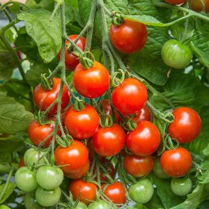 Gardener's Delight Tomato Plant for sale near me driffield beverley hornsea hull