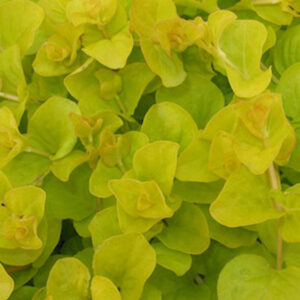 """Lysmachia Nummularia Gold """"Creeping Jenny"""" foliage hanging basket plants for sale delivery east yorkshire hull beverley driffield hornsea"""