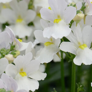Nemesia 'Wisley Vanilla' hanging basket plants for sale delivery east yorkshire hull beverley driffield hornsea