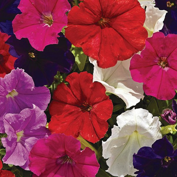 Upright Petunia Picobella mix 6 pack bedding hanging basket plants for sale delivery east yorkshire hull beverley driffield hornsea