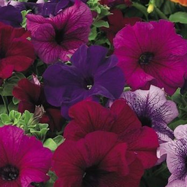 Upright Petunia ultra mix 6 pack bedding hanging basket plants for sale delivery east yorkshire hull beverley driffield hornsea
