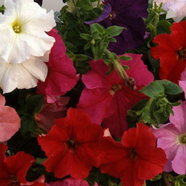 Trailing petunia supercascade mix6 pack bedding hanging basket plants for sale delivery east yorkshire hull beverley driffield hornsea