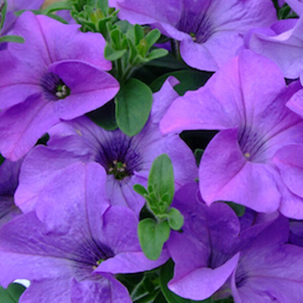 Surfinia Blue Purple hanging basket plants for sale delivery east yorkshire hull beverley driffield hornsea
