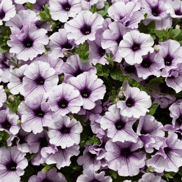 Surfinia Blue Vein hanging basket plants for sale delivery east yorkshire hull beverley driffield hornsea