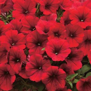 Surfinia Deep Red hanging basket plants for sale delivery east yorkshire hull beverley driffield hornsea