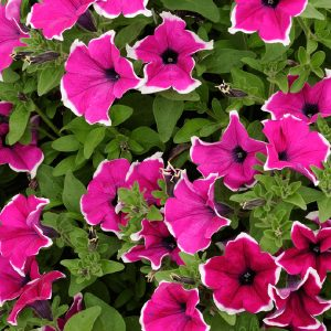 Surfinia Giant Purple Picotee hanging basket plants for sale delivery east yorkshire hull beverley driffield hornsea