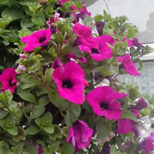 Surfinia Purple hanging basket plants for sale delivery east yorkshire hull beverley driffield hornsea