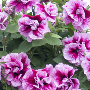 Tumbelina Francesca Petuinia hanging basket plants for sale delivery east yorkshire hull beverley driffield hornsea