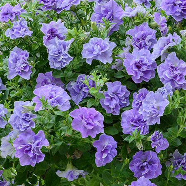 Tumbelina Maria Petuinia hanging basket plants for sale delivery east yorkshire hull beverley driffield hornsea