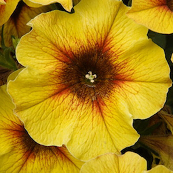 Petchoa Beautical Caramel Yellow hanging basket plants for sale delivery east yorkshire hull beverley driffield hornsea