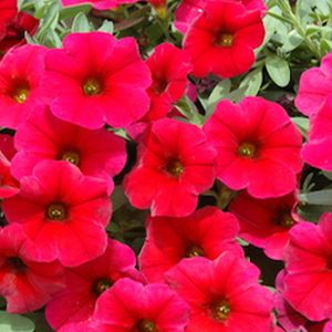 Petchoa Cherry Imp hanging basket plants for sale delivery east yorkshire hull beverley driffield hornsea