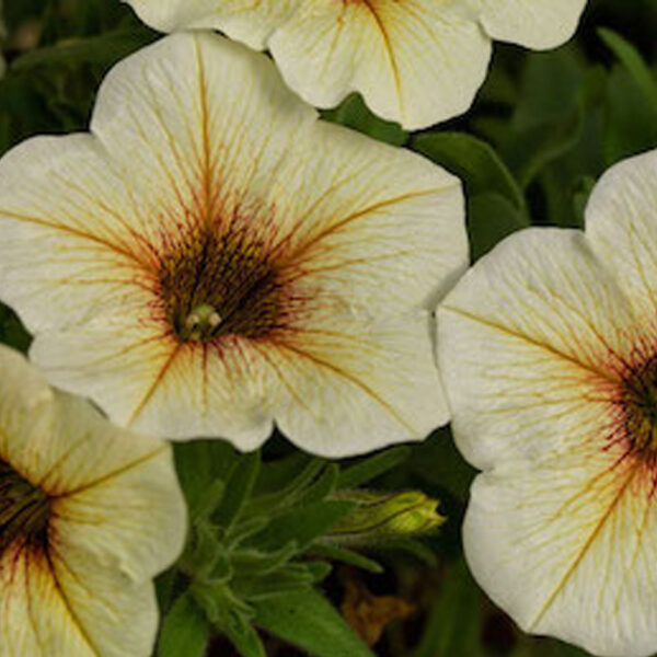 Petchoa Beautical French Vanilla hanging basket plants for sale delivery east yorkshire hull beverley driffield hornsea