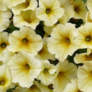 Petchoa light yellow hanging basket plants for sale delivery east yorkshire hull beverley driffield hornsea