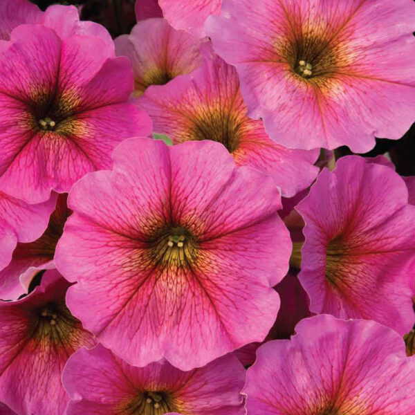 Petchoa Beautical Sunray Pink hanging basket plants for sale delivery east yorkshire hull beverley driffield hornsea