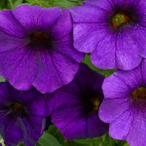 Petchoa Supercal Blue hanging basket plants for sale delivery east yorkshire hull beverley driffield hornsea