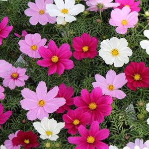 Cosmos Sonata mix 6 pack bedding hanging basket plants for sale delivery east yorkshire hull beverley driffield hornsea